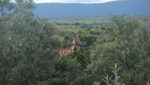 Giraffe gut getarnt im Masai Mara von Kenia