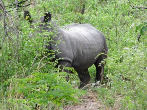 Nervöses Nashorn in Simbabwe