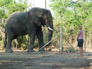 Elefantenbegegnung in Afrika