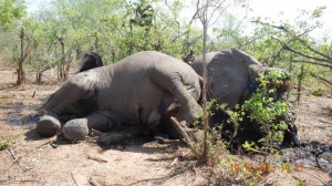 Tod durch Wilderer: Elefant in Simbabwe