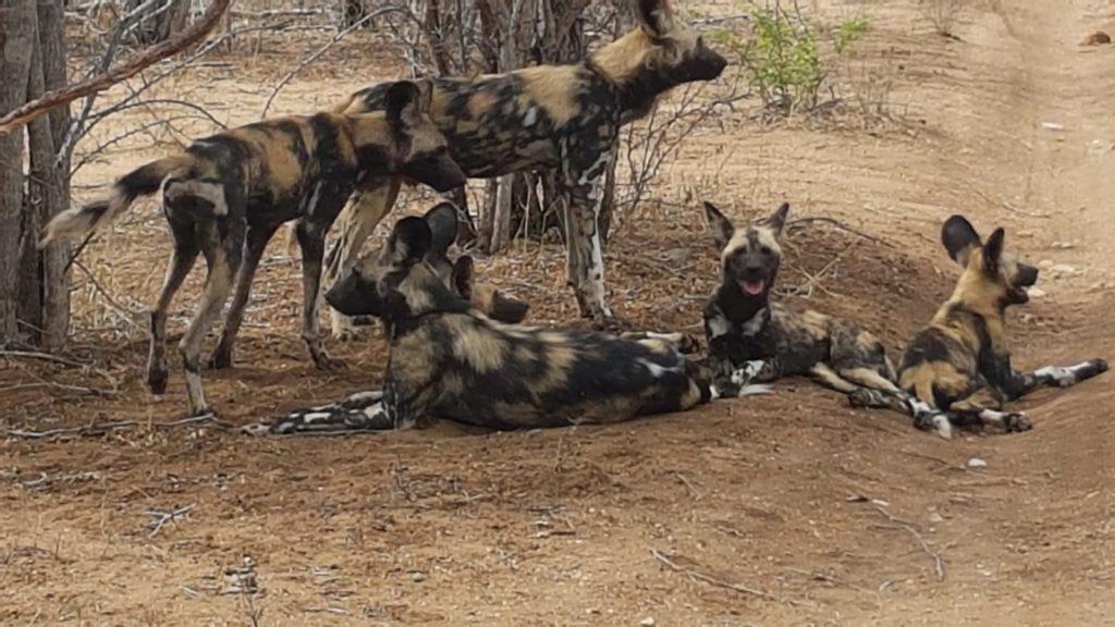 Eine Familie afrikanischer Wildhunde entspannt im Schatten einer Dornakazie im Balulue Naturreservat des Greater Kruger Nationalparks Südafrikas.