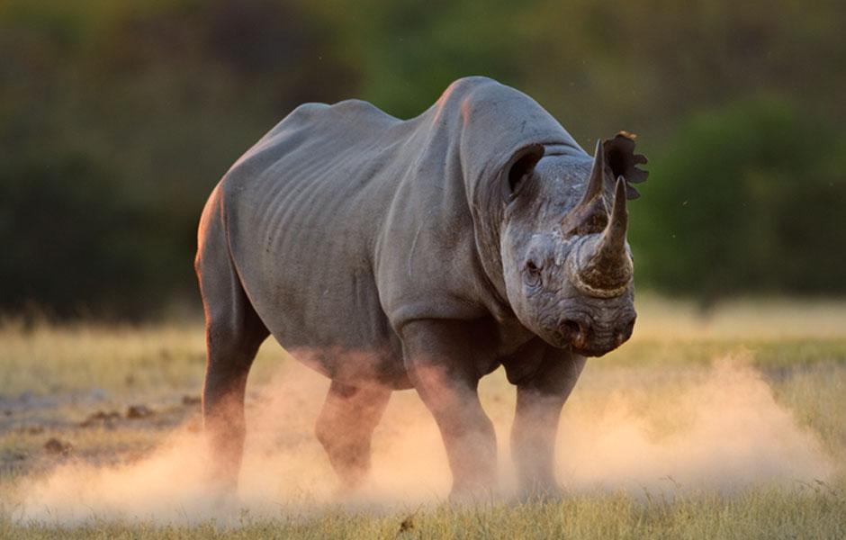 Das ist ein Nashorn in Afrika mit drei Hörnern auf der Nase. Besonders in Südafrikas Greater Kruger Nationalpark werden sie aufgrund ihres Horn von Wilderern brutal gejagt. Fotoquelle: WWF