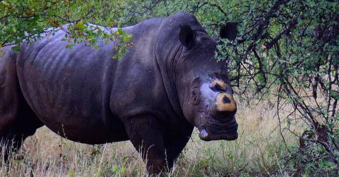 Ein Nashorn dieser Tage in Südafrikas Greater Kruger Park. Die Hörner wurden entfernt, um die Tierart vor Wilderei und damit vor dem Aussterben zu schützen. Quelle: Balule Nature Reserve